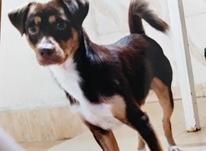 گم شدن توله سگ  در شیپور-عکس کوچک