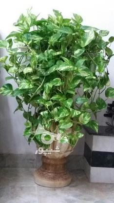 گل شاداب وسرحال پتوس، قیمتم مقطوع میباشد. در گروه خرید و فروش لوازم خانگی در مازندران در شیپور-عکس1