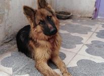 توله سگ ژرمن شیپرد شولاین مو بلند  در شیپور-عکس کوچک