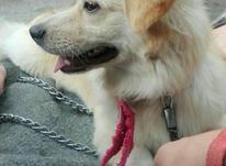 سگ پا کوتاه در شیپور-عکس کوچک