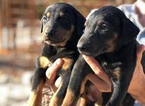 توله سگ دوبرمن اصیل در شیپور-عکس کوچک