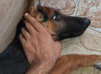 سگ 5 ماهه ژرمن شپرد شولاین در شیپور-عکس کوچک