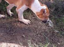 توله سگ افغان در شیپور-عکس کوچک
