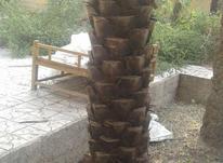 برش وهرس درختان نخل جهت مقاوم سازی تبختک هاوزیبایی در شیپور-عکس کوچک