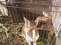 خرگوش سالم  در شیپور-عکس کوچک