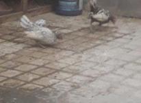 مرغ و خروس سیبرایت  در شیپور-عکس کوچک