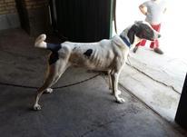 فروش تعدادی سگ  در شیپور-عکس کوچک
