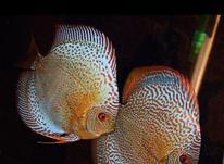 ماهی دیسکس مولد در شیپور-عکس کوچک