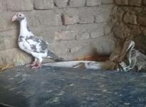 کبوتر پلنگی نر  در شیپور-عکس کوچک