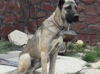 سگ نر کانگال  در شیپور-عکس کوچک