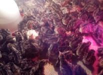 فروش جوجه بوقلمون برنر انگلیسی 1 ماهه. در شیپور-عکس کوچک