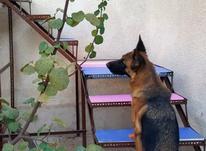 پانسیون سگ پانسیون گربه آموزش سگ  در شیپور-عکس کوچک