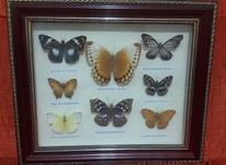 قاب تزیینی پروانه در شیپور-عکس کوچک