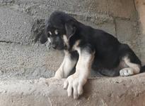 سگ گله،نگهبان ،اپارتمانی  در شیپور-عکس کوچک