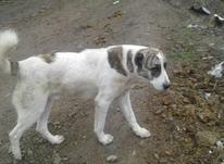 سگ فروشی گوسفندی در شیپور-عکس کوچک