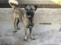 توله سگ سرابی اصیل  در شیپور-عکس کوچک
