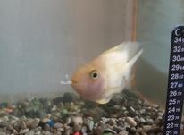 ماهی پرد اکواریمی  در شیپور-عکس کوچک