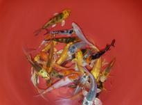 هفت کوی الوان ماهی جذاب 10 سانتیمتری در شیپور-عکس کوچک