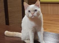 فروش گربه بریتیش نر در شیپور-عکس کوچک