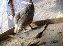 مرغ شاخدار در شیپور-عکس کوچک