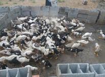 اردک محلی تعداد ۱۰۰عدد در شیپور-عکس کوچک