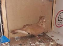 کبوتر صربستانی نر در شیپور-عکس کوچک