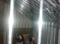 طوطی برزیلی مولد کاربنی در شیپور-عکس کوچک