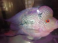 ماهی فلاور با کیفیت و آکواریوم شرکتی با تمام لواز در شیپور-عکس کوچک