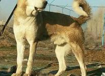 سگ سراب نگهبان جسور  در شیپور-عکس کوچک