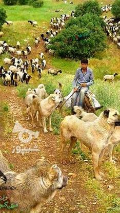 گوسفندزنده شهرداری بهداشتی تهران وحومه شبانه روزی  در گروه خرید و فروش ورزش فرهنگ فراغت در تهران در شیپور-عکس1