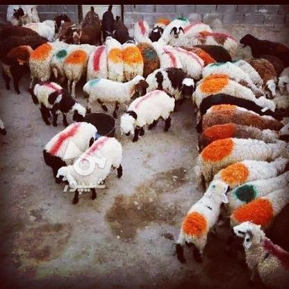 فروش گوسفند زنده  به صورت در گروه خرید و فروش ورزش فرهنگ فراغت در تهران در شیپور-عکس1