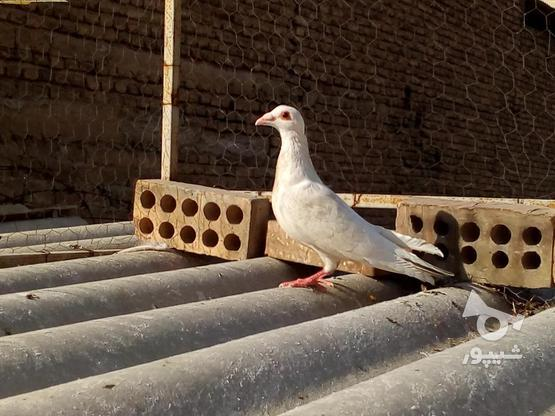 کفتر کبوتر مسافتی پلاکی شهرستانی در گروه خرید و فروش ورزش فرهنگ فراغت در تهران در شیپور-عکس1