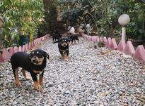 توله سگ نگهبان در شیپور-عکس کوچک