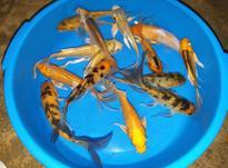هفت ماهی 12 سانتی پولکدار کوی سلطان اکواریوم در شیپور-عکس کوچک
