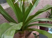 گل ذرتی بزرگ ده ساله  در شیپور-عکس کوچک