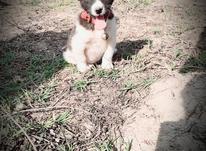 سگ پاکوتاه نر فروشی در شیپور-عکس کوچک