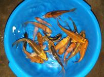 کلکسیونی ماهی جست و چابک کوی سه بندی در شیپور-عکس کوچک