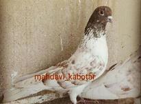 کفتر کبوتر قدیم در شیپور-عکس کوچک