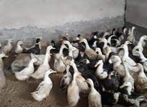 اردک مگ مگی و محلی قاطی در شیپور-عکس کوچک