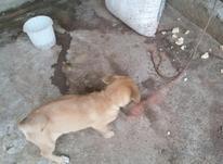 سگ پاکوتاه در شیپور-عکس کوچک