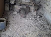 4عدد کبک سرحال در شیپور-عکس کوچک