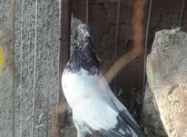کبوتر نر کاکلی کله دم قهوه ای  در شیپور-عکس کوچک