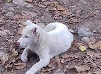 سگ خوب وزرنگ در شیپور-عکس کوچک
