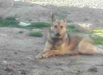 سگ جرمن شیپرد ماده 3 ساله در شیپور-عکس کوچک