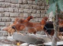 فروش مرغ و خروس ریش در شیپور-عکس کوچک