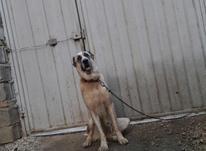 فرش سگ افغان ماده در شیپور-عکس کوچک