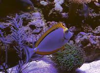 ماهیان خوش رنگ اب شور ناسو الگانس دلقک مرون گلد  در شیپور-عکس کوچک