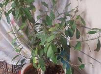گل جینسینگ در شیپور-عکس کوچک