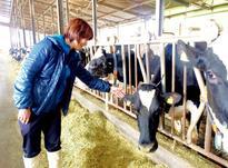 افزایش چربی و پروتئین شیر گاو بااستفاده از بنتونیت خوراک دام در شیپور-عکس کوچک
