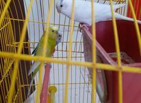 سه مرغ عشق با تخم و قفس در شیپور-عکس کوچک